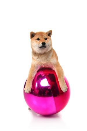 Shiba inu puppy on white photo