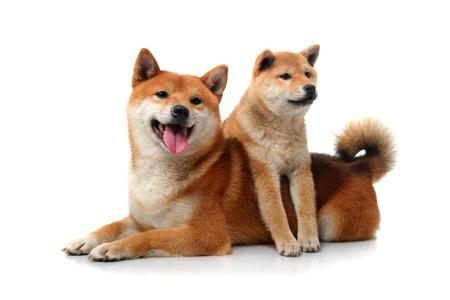 2 白犬柴犬 写真素材