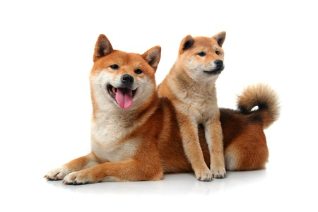 Two shiba inu dogs on white