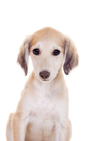 taz: Tazy - Kazakh greyhound on white Stock Photo