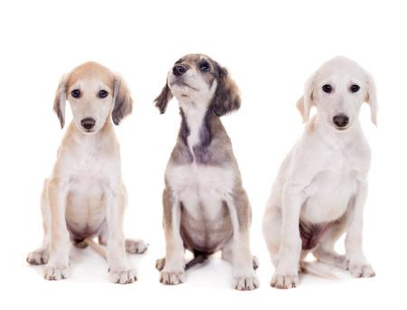 taz: Tazy - kazach greyhound on white Stock Photo
