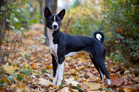 Basenji dog in autumn park