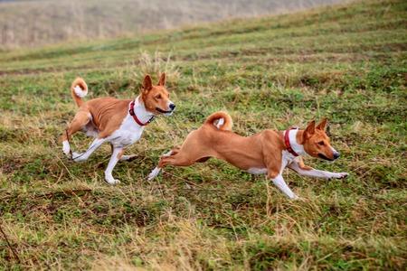 dog running: Dos perros Basenji en otoño
