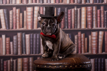 French bulldog puppy with neck bow hat in library photo