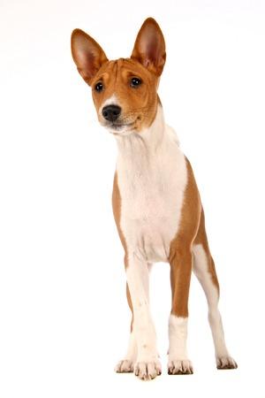 doggy position: Little Basenji puppy on white