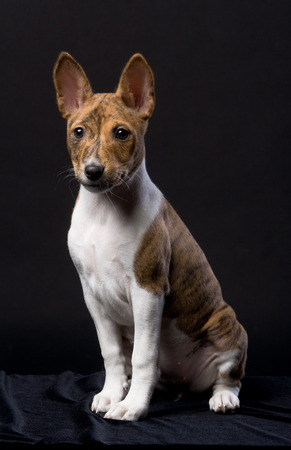 Little Basenji puppy on the black background
