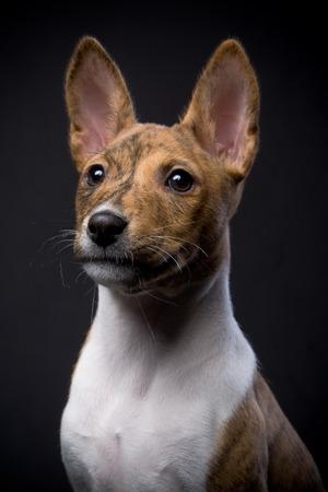 doggy position: Little Basenji puppy on the black background