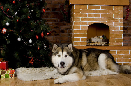 Malamute with christmas-tree decorations photo