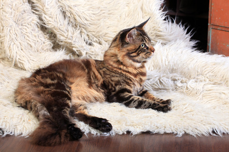 maine coon: Brown Tabby Maine Coon