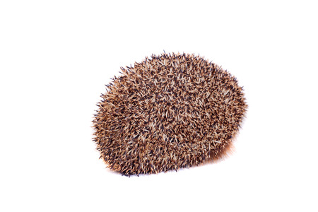 European hedgehog on white background photo