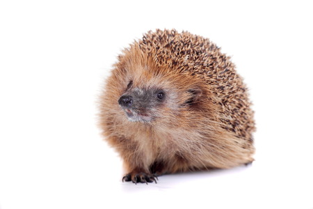 laughable: European hedgehog on white background