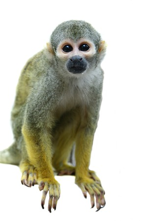 squirrel isolated: Common squirrel monkey on white