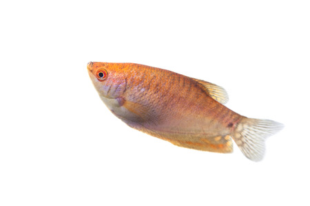 Aquarium Fish Lunar gourami on white background photo