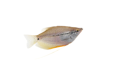 Lace or pearl gourami on white  Pearl gourami  photo
