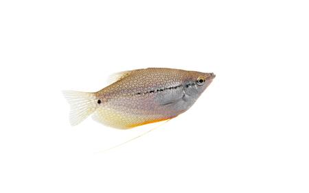 biotype: Lace or pearl gourami on white  Pearl gourami