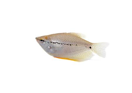 aquarian fish: Lace or pearl gourami on white  Pearl gourami