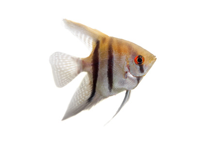 Angelfish in profile on white Stock Photo