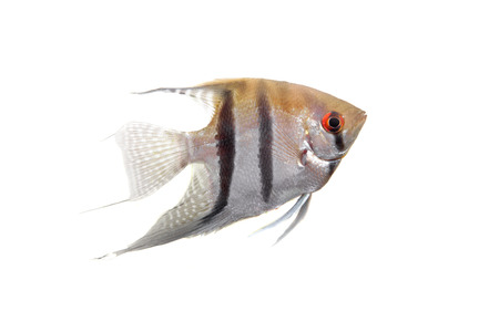 Angelfish in profile on white photo