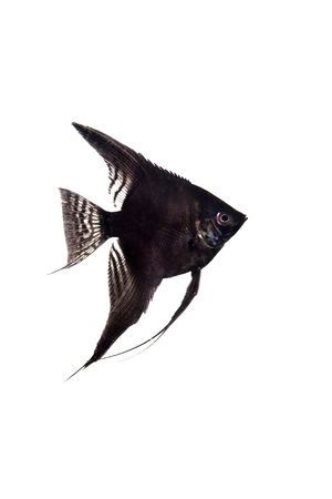 Black angelfish in profile on white background photo