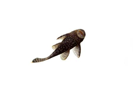 hyphessobrycon: Aquarium Fish Bushymouth catfish on white