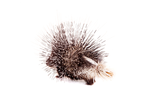 Indian crested Porcupine on white photo