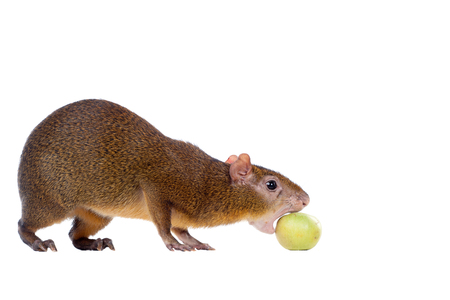 visions of america: Central American agouti on white