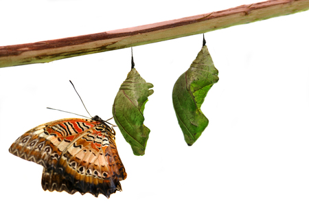 pupae: Lacewing Butterfly on Pupae over white