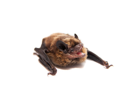 Northern bat on white  photo