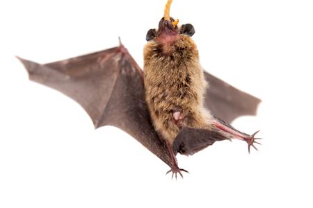 Northern bat on white