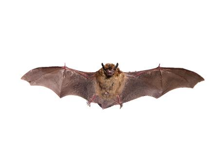 화이트 북부 박쥐 비행 스톡 콘텐츠