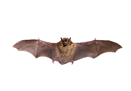 Flying Northern bat on white  Stock Photo