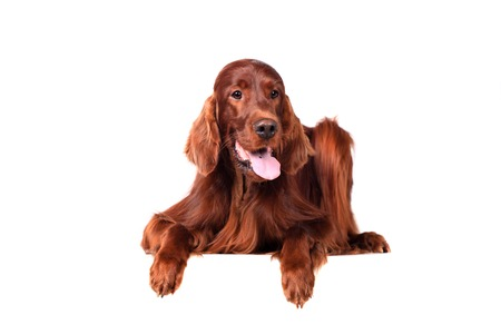 Irish Red Setter on white background photo