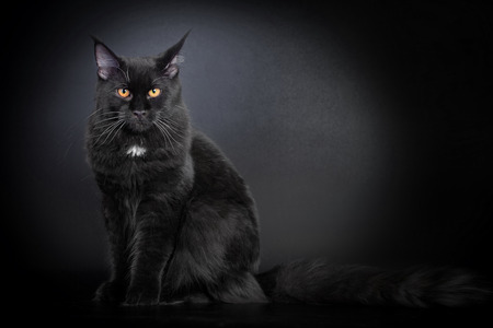 maine coon: Black Maine Coon cat Stock Photo