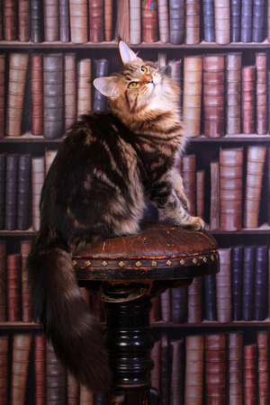 maine coon: Tabby Maine Coon cat