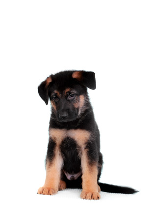 German shepherd puppy photo