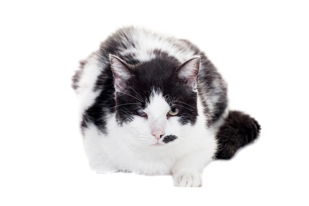 black and white lock: Mixed breed blind cat on white Stock Photo