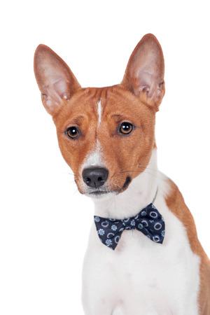 doggy position: Basenji dog isolated on white Stock Photo