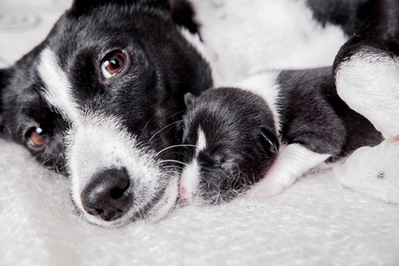 Newborn basenji puppy with mother Stock Photo