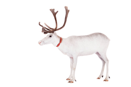Reindeer or caribou, on the white background photo