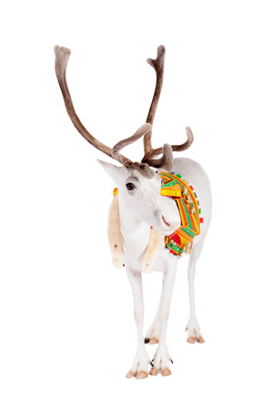 Reindeer or caribou wearing traditional harness photo