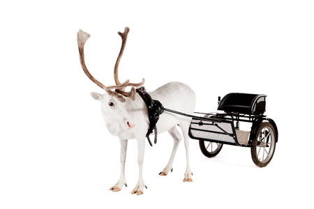 Reindeer or caribou wearing europian harness photo