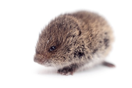 Common Vole, 3 weeks old, on white Stock Photo