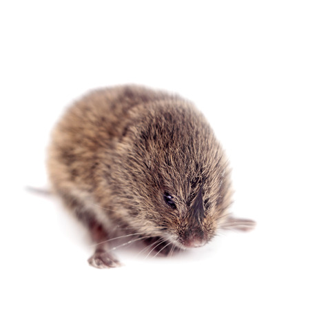 vole: Common Vole, 3 weeks old, on white Stock Photo