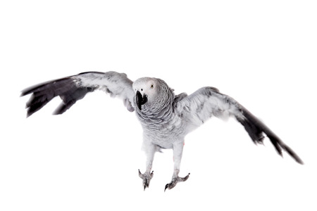 African Grey Parrot, isolated on white background photo