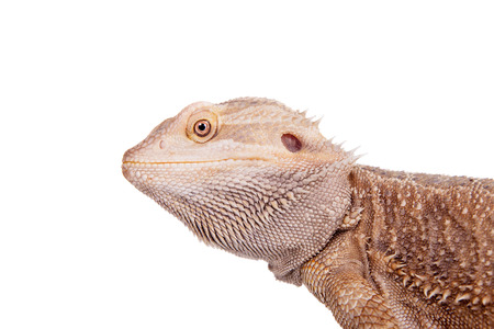 Central Bearded Dragon on white background photo