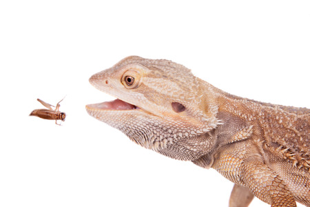 chasing tail: Central Bearded Dragon chasing a cricket on white Stock Photo