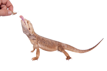 Central Bearded Dragon chasing a cricket on white Stock Photo