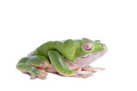 Giant leaf frog on white background photo