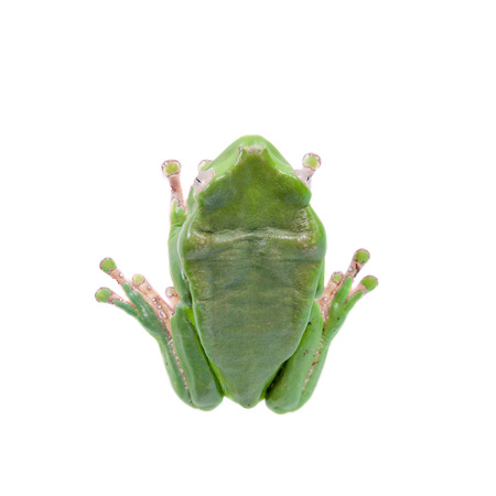 Giant leaf frog on white background photo