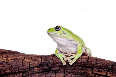 exotic frog: Australian Green Tree Frog on white background